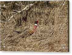 Ring-necked Rooster Pheasant  Acrylic Print by Lori Tordsen