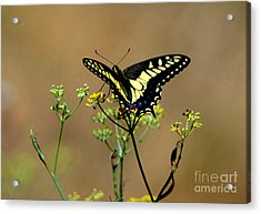Butterfly Acrylic Print by Marc Bittan
