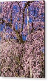 Acrylic Print featuring the photograph Miharu Takizakura Weeping Cherry25 by Tatsuya Atarashi