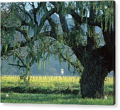 2b6319 Mustard In The Oaks Sonoma Ca Acrylic Print