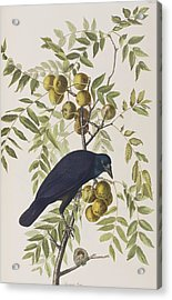 American Crow Acrylic Print by John James Audubon