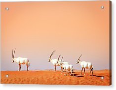 Acrylic Print featuring the photograph Arabian Oryx by Alexey Stiop