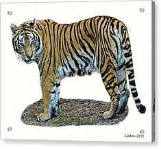 Asian Tiger Acrylic Print by Larry Linton