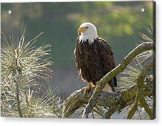 Bald Eagle Acrylic Print by Doug Herr
