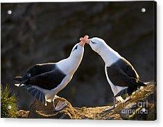 Black-browed Albatross Couple Acrylic Print by Jean-Louis Klein & Marie-Luce Hubert