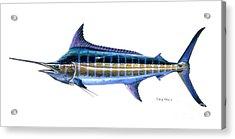 Blue Marlin Acrylic Print by Carey Chen