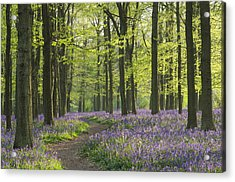 Bluebell Wood Acrylic Print by Liz Pinchen