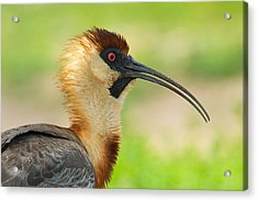 Buff-necked Ibis Theristicus Caudatus Acrylic Print by Panoramic Images