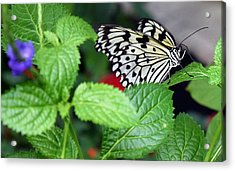 Paper Kite Butterfly No. 3 Acrylic Print