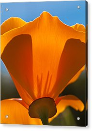 Californian Poppies Acrylic Print