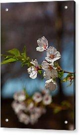 Cherry Trees Acrylic Print by Robert Ullmann