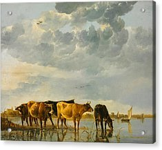 Cows In A River Acrylic Print