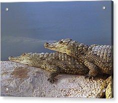 Crocodile Resting Acrylic Print