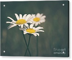 3 Daisies Acrylic Print by Cheryl Baxter