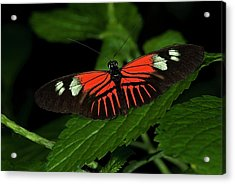 Doris Longwing Butterfly Acrylic Print by JT Lewis