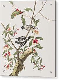Downy Woodpecker Acrylic Print by John James Audubon