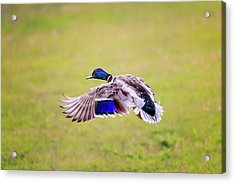 Duck-drake Acrylic Print