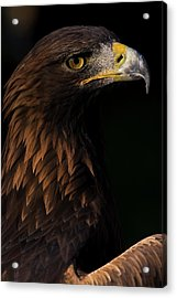 Acrylic Print featuring the photograph European Golden Eagle by JT Lewis