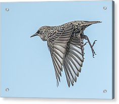 European Starling Acrylic Print by Tam Ryan
