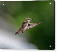 Female Ruby Throated Hummingbird Acrylic Print by Brenda Jacobs