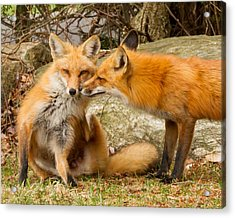 Foxes In Love Acrylic Print