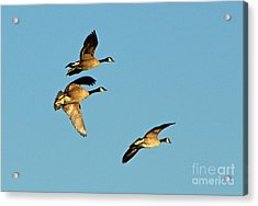 3 Geese In Flight Acrylic Print