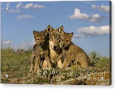 Gray Wolf And Cubs Acrylic Print by Jean-Louis Klein & Marie-Luce Hubert