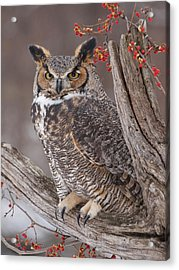 Great Horned Owl Acrylic Print by Cindy Lindow