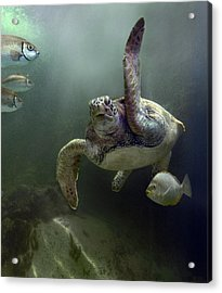 Green Sea Turtle Chelonia Mydas Acrylic Print by Tim Fitzharris