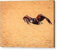Acrylic Print featuring the photograph Harris Hawk by Alexey Stiop