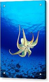 Hawaii, Day Octopus Acrylic Print