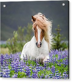 Horse Running By Lupines. Purebred Acrylic Print by Panoramic Images
