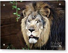 Lion Acrylic Print by Paulette Thomas