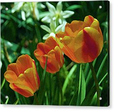 Acrylic Print featuring the photograph 3 Lips Tulips by Sheryl Thomas