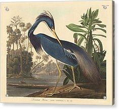 Louisiana Heron Acrylic Print