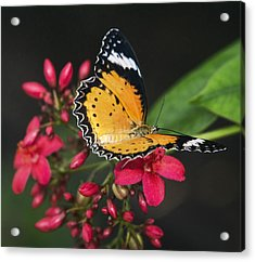 Malay Lacewing Butterfly  Acrylic Print by Saija Lehtonen