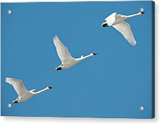 3 Montana Swans Acrylic Print