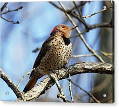 Northern Flicker Woodpecker Acrylic Print