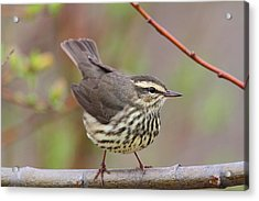 Northern Waterthrush Acrylic Print by Doug Lloyd