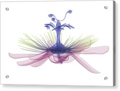 Passion Flower, X-ray Acrylic Print