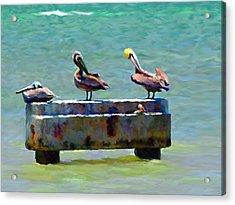 3 Pelicans Acrylic Print