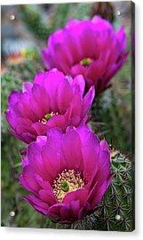 Acrylic Print featuring the photograph Pink Hedgehog Cactus  by Saija Lehtonen
