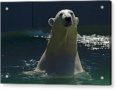 Polar Bear Acrylic Print
