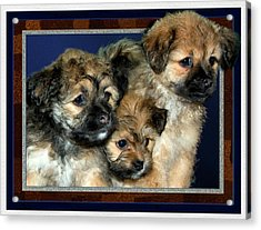 3 Pups Acrylic Print by Harry Hunsberger
