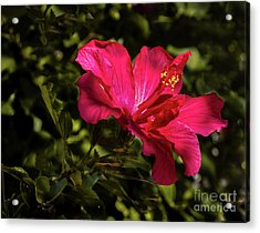 Acrylic Print featuring the photograph Red Hibiscus by Robert Bales