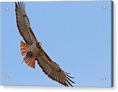 Red-tailed Hawk  Acrylic Print by Carl Jackson