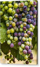 Red Wine Grapes Hanging On The Vine Acrylic Print by Teri Virbickis
