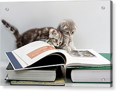 Scottish Fold Cats Acrylic Print
