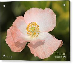Single White And Coral Poppy From The Angel's Choir Mix Acrylic Print