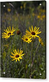 3 Sunflowers 8152 Acrylic Print